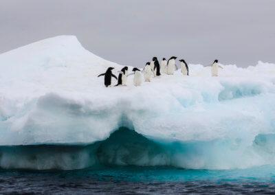 Gentoo Penguins_Antarctica -IMG_1650